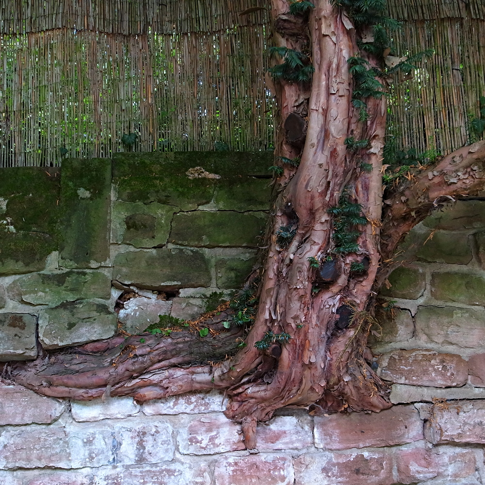Tree in wall